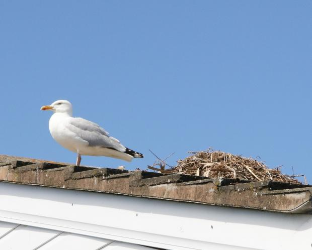 Prestatyn film-maker targeted by roof-nesting seagulls told