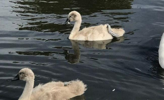 The cygnet with the plastic ring around its lower beak