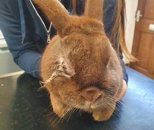 The bunny was found in Prestatyn. Picture:  RSPCA Clwyd and Colwyn branch/Facebook