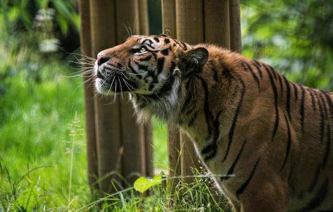 The zoo is lucky enough to house two Sumatran Tigers