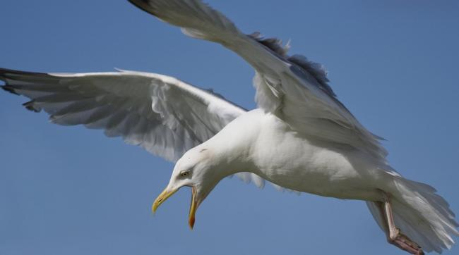 sickening attack seagull spotted flying over rhyl with a crossbow