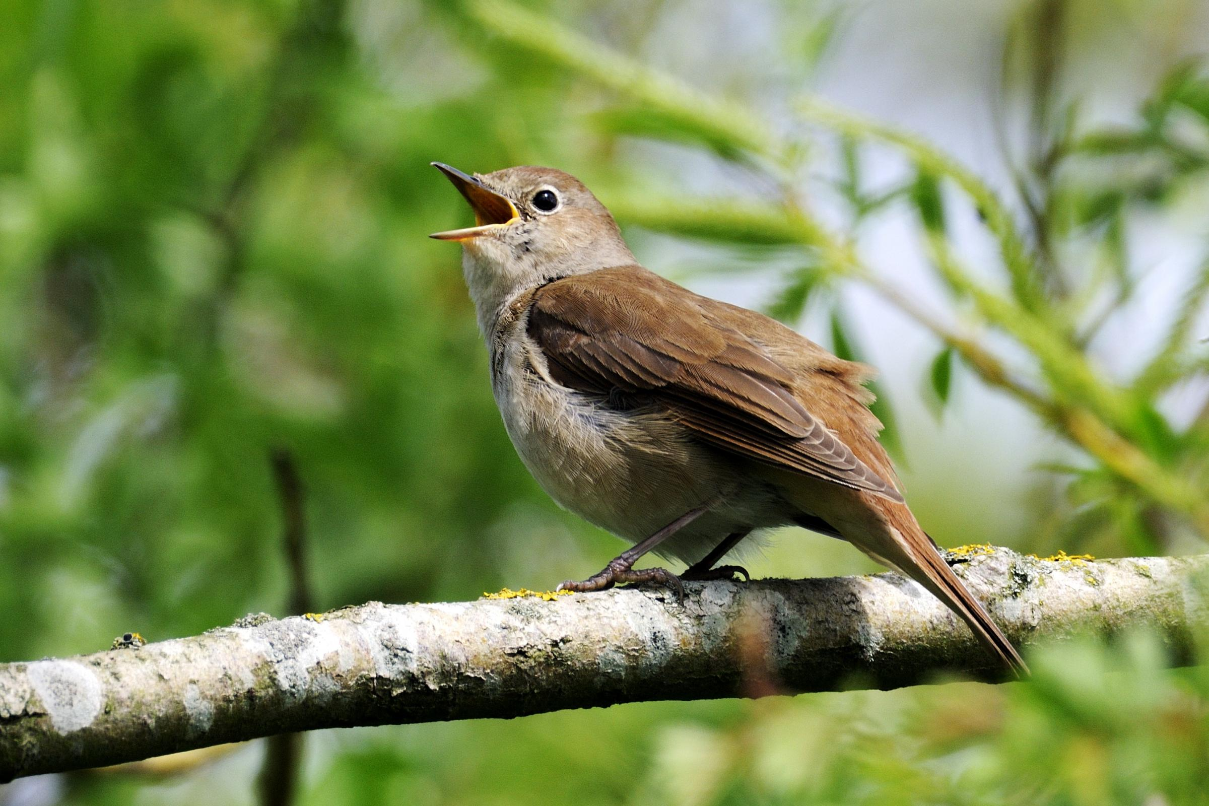 A nightingale singing in a tress in Oxfordshire