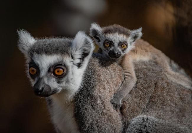 The first ring-tailed lemurs born in Chester Zoo's new Madagascar zone cling onto their mums